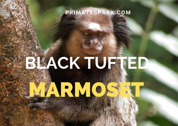black tufted marmoset