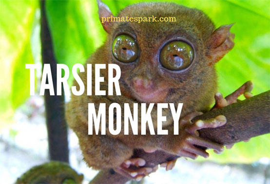 tarsier-monkey