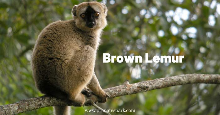 True Lemur or Brown Lemur