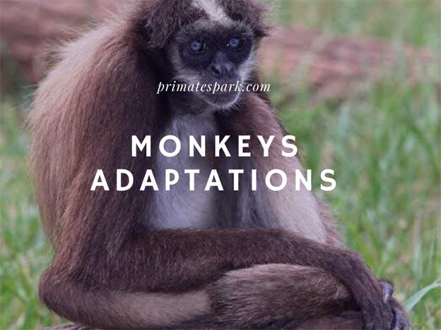 monkeys adaptations