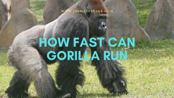 how fast can gorilla run