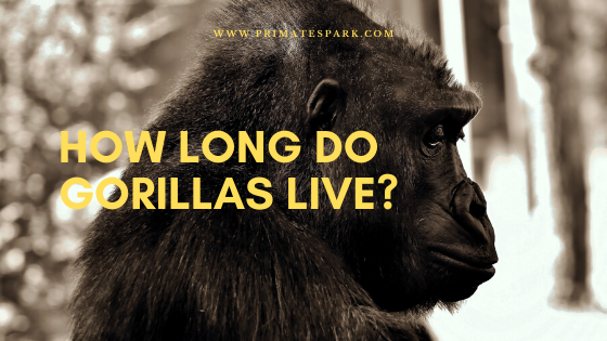how-long-do-gorillas-live-in-jungle-and-in-captivity