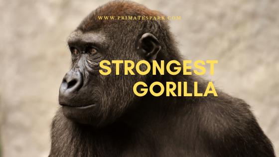 strongest gorilla