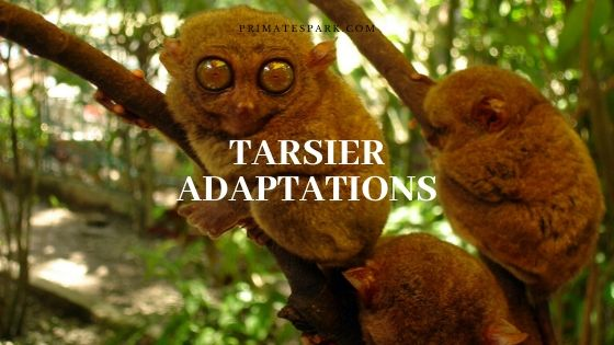 tarsier adaptations