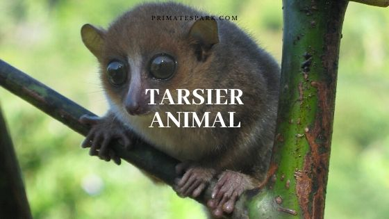 tarsier animal