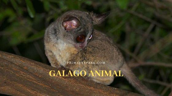 Galago Animal