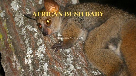 african bush baby