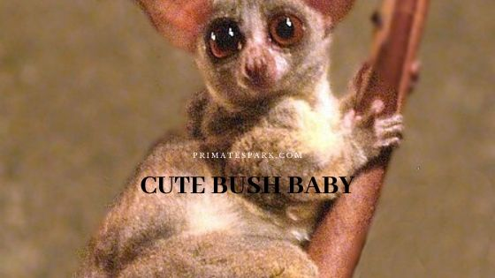 Cute Bush Baby or Galago Profile and Facts - Primates Park