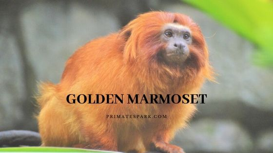 golden marmoset