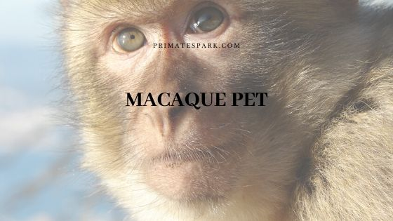 macaque pet