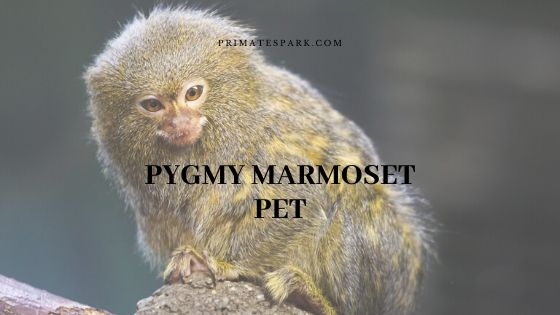 pygmy marmoset pet
