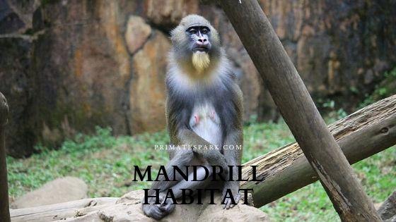 mandrill habitat