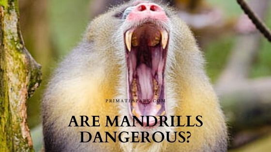 are mandrills dangerous