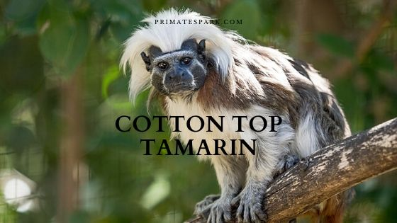 cotton top tamarin Saguinus oedipus