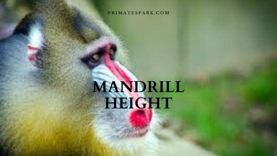 mandrill height