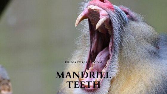 mandrill teeth