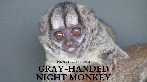 Gray-handed night monkey