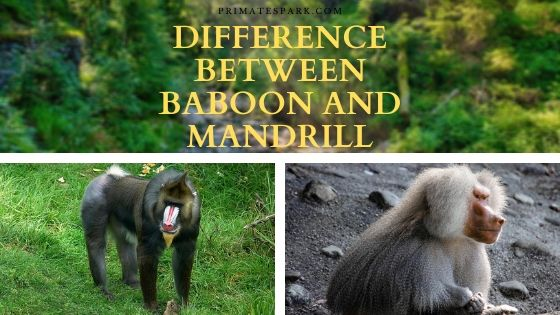 difference between baboon and mandrill