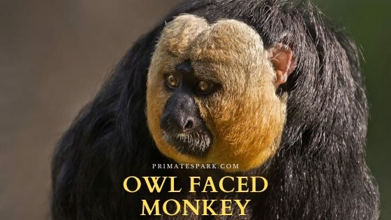 owl faced monkey