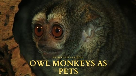 owl monkeys as pets