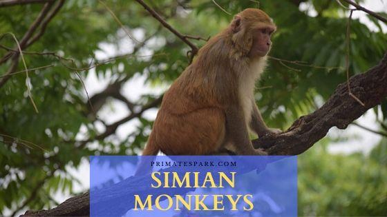 simian monkeys