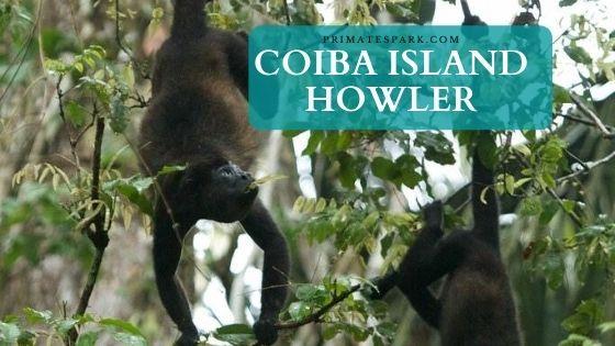 Coiba Island howler