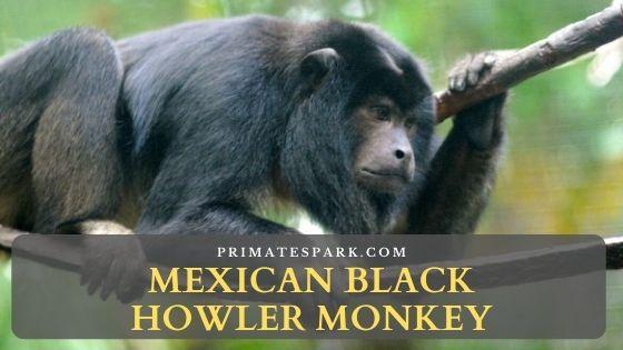 Mexican black howler monkey