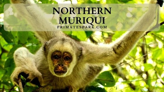Northern muriqui