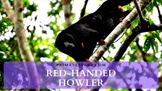 Red-handed howler