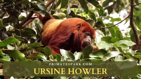 Ursine howler