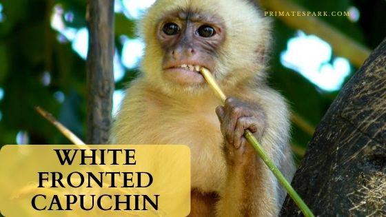 White fronted capuchin