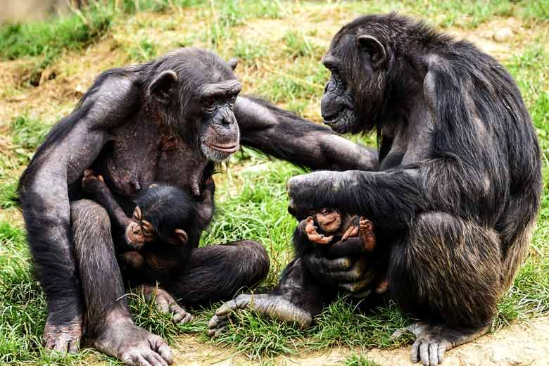 are chimpanzees apes