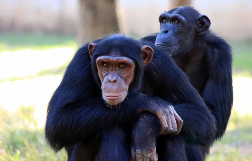 are chimps apes