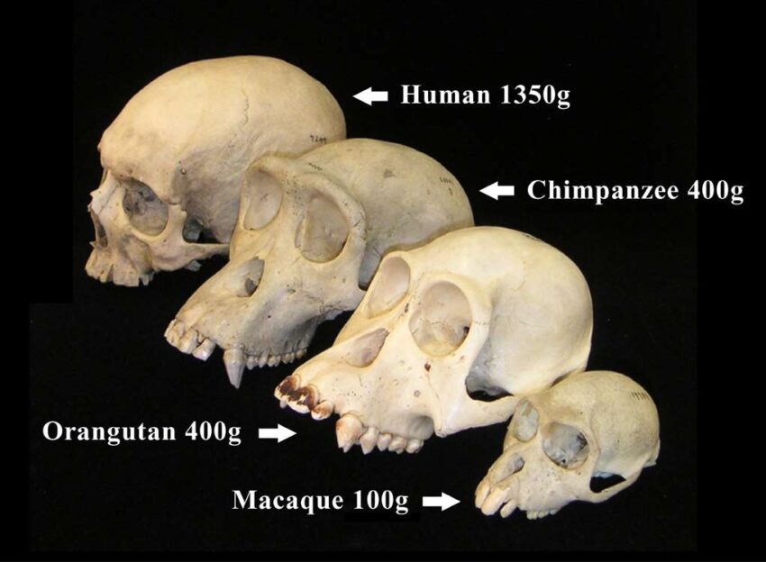 chimpanzees are humans closest