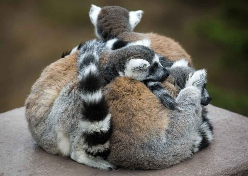 different types of lemurs