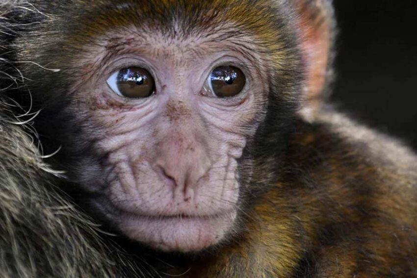 best type of monkey for a pet